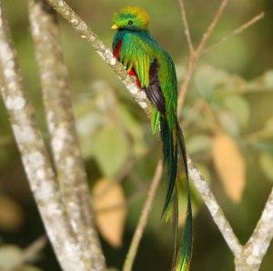 Male Quetzal Bird
