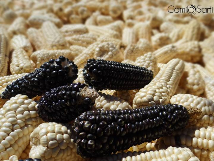 Guatemalan corn